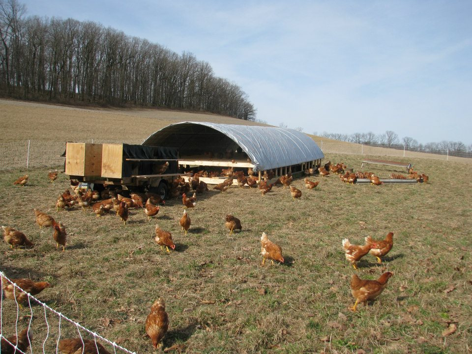 Last week we purchased 300 pullets (16 week old laying hens) in order ...